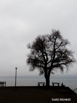 Ammersee Promenadenbaum